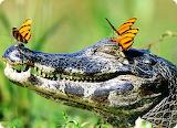 crocodile-papillons bleus