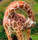 Reticulated Giraffe ~ Samburu, Kenya