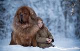 Girl With Tibetan Mastiff