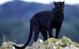 Black Panther...