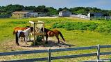 Chow time horses Ocracoke Island