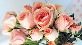 #Harmony Pink Romantic Roses