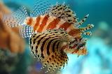Lion-fish-1366029