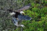 Eagle vs. Heron photo by Paul Dixon