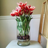 ^ Tulips blooming in vase