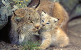 Lynx kitten with mom