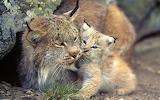 Lynx kitten with mom