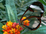 "Insects tumblr asapscience ""The Glasswinged Butterfly"" Butterfly"