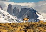 guanaco in Tores del Paine,Chile