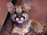 Baby Mountain Lion...