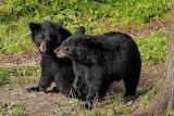 Bears - Black Bear Cubs