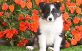Shetland Sheepdog Puppy...