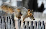 Squirrel on fence