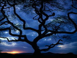 serengeti's twisted tree