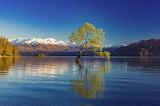 Willow tree Lake Wanaka New Zealand