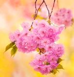 * Cherry Blossom...