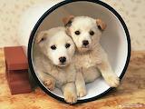 Puppy-adorable-pet-animal