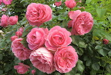 7.flowers-large-gorgeous-pink-roses