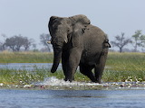 Elephant walking in water