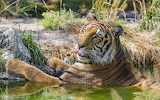 Bath tiger
