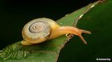 """Insects Snail """"Systrophia (Entodina) heligmoida"""" """"©Andreas Kay"""""""