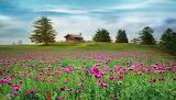 House in poppy field