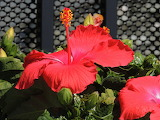 Hibiscus Lowes Home Improvement