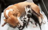 Dog nurses rescued kittens