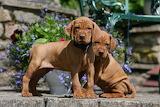 Vizsla pups