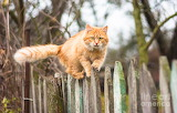 Fluffy-ginger-tabby-cat-walking-on-old-fence