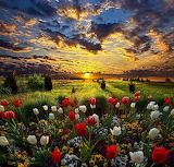 Tulips at sunset
