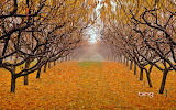 Pear orchard in Okanagan Valley. British Colombia. Canada