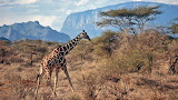 Giraffe-Kenya Africa