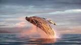 Humpback Whale, Frederick Sound