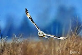 Short-eared owl. Samish Island. Washington