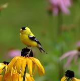 Goldfinch On Gloriosa Daisy