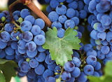 Wine Grapes...