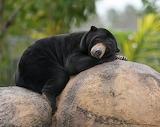 bear,Malaysia