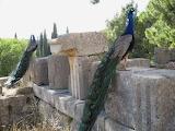 Peacocks in Lalysos Greece
