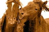 Sable-Horses