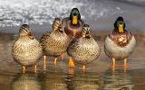 Ducks in Art
