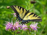 Butterflies - Eastern Tiger Swallowtail