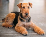 Dogs - Airedale Terrier