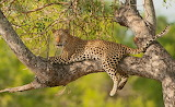 Leopard, branches, tree, wild cat, leaves