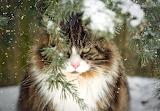 Snowy fluffy cat