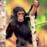 *Baby Chimpanzee...