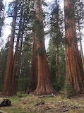 Trees - Giant Sequoias