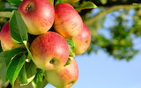 apples.......................................x