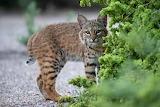 Lynx Cubs Glance 562898 1280x853