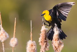 Jason Savage Photography Yellow-Headed Blackbird